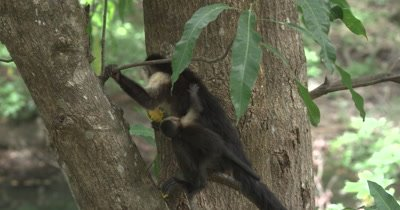 White Face Capuchin Monkeys - Mother with baby and male eat mangos in tree