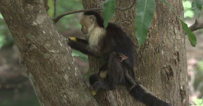 White Face Capuchin Monkeys - Mother eats mango while baby crawls and plays on tail