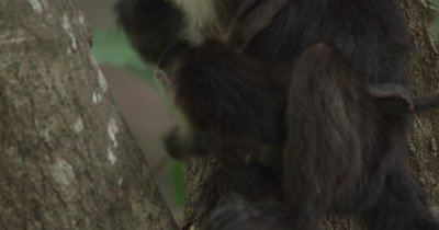 White Face Capuchin Monkeys - Mother eats mango while baby crawls on her