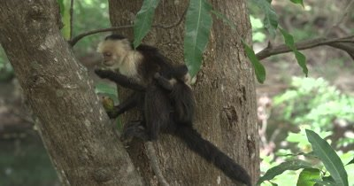 White Face Capuchin Monkeys - Mother eats mango in tree while baby climbs on tail