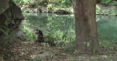White Face Capuchin Monkey eats mango on rock near river