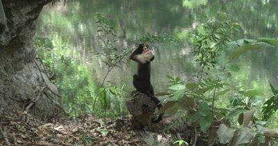 White Face Capuchin Monkey eats mango on rock near river as two foraging monkeys pass