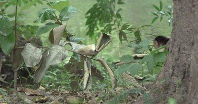 White Face Capuchin Monkeys - Juvenile Carries mango along river edge