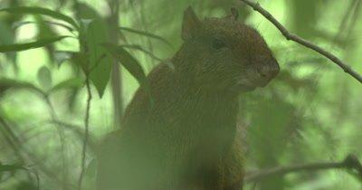 Agouti rodent walking alert on ground