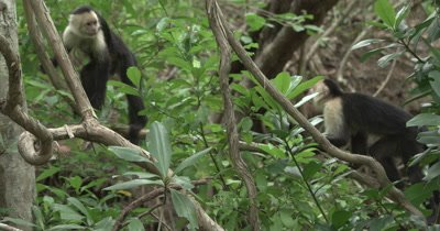 White Face Capuchin Monkeys - Male walks over mother with baby on back on vine