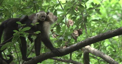 White Face Capuchin Monkeys - Mother with baby on back walks along branch