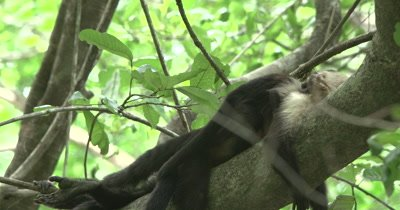 White Face Capuchin Monkeys - Baby crawls and scratches on sleeping mother