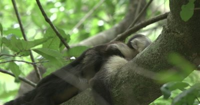 White Face Capuchin Monkeys - Baby scratches and looks at camera on sleeping mother