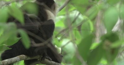 White Face Capuchin Monkeys - Mother eats bromeliad shoot with newborn baby on back with umbilical cord