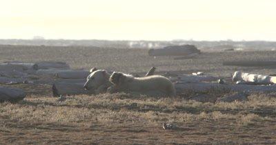 Polar Bear wakes up yawns and sticks out tongue