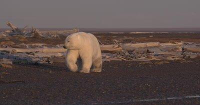 Polar Bear with injured leg walks along sandbar