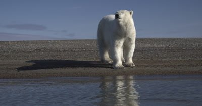 Polar Bear walks close towards camera