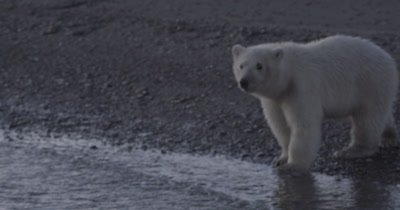 Polar Bear Cub at waters edge nervous to swim