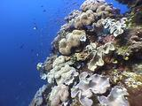 Mushroom Leather Coral W/ Fusiliers