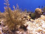 Gorgonian And French Angelfish