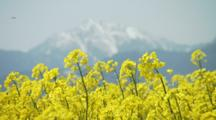 Close Up Either Mustard Or Rapeseed Flowers, Mountain Peak Behind