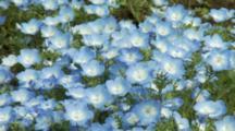Field Of Baby Blue Eyes In Japan