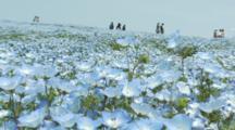 People Walk Through Field Of Baby Blue Eyes In Japan