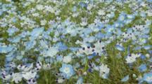 Field Of Baby Blue Eyes And Four Spots In Japan