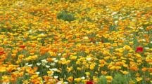 Fields Of Iceland Poppies