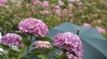 People Walk In Field Of Hydrangea Flowers