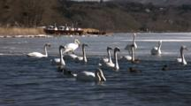 Mute Swans Swim And Walk On Partially Frozen Lake