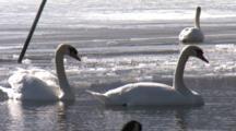 Mute Swans Swim On Partially Frozen Lake