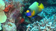 Blueface Angelfish Swims Around Reef