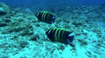 A Pair Of Six Banded Angelfish Swims Around Reef