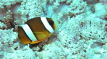 Clark's Anemone Fish On Host