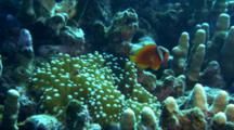 Anemone Fish, Possibly Tomato, Above Host