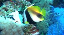 Masked Bannerfish Swims Around Reef, Feeds
