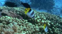 Pair Of Double Saddle Butterflyfish Swims Around Reef