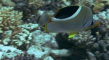 Saddled Butterflyfish Feeds On Reef