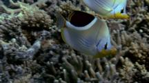 Pair Of Saddled Butterflyfish Feeds On Reef