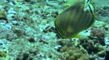 Pair Of Ornate Butterflyfish Feeds On Reef