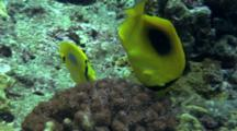 Pair Of Ovalspot Butterflyfish Feeds On Reef