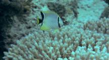 Vagabond Butterflyfish Feeds On Reef