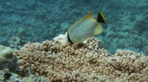 Chevroned Butterflyfish Feeds On Reef