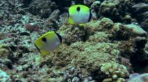 Pair Of Teardrop Butterflyfish Feeds On Reef