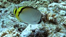 Pair Of Vagabond Butterflyfish Feeds On Reef