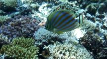 Ornate Butterflyfish Feeds On Coral Reef