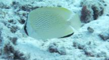 Speckled Butterflyfish Feeds On Coral Reef