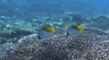A Pair Of Threadfin Butterflyfish Feed On Hard Coral