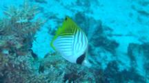 Threadfin Butterflyfish Feeds On Hard Coral