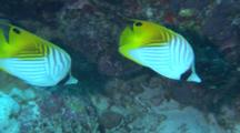 Pair Of Threadfin Butterflyfish Feed On Coral Reef