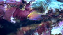 Colorful Anthias Swims Around Reef