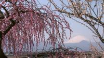 Plum Flowers And Mt. Fuji In Japan