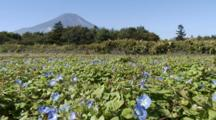Morning Glories And Mt. Fuji In Japan