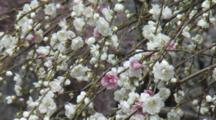 Close Up Blossoms, Possibly Cherry Or Plum, Blue Sky